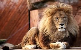 lion graceful